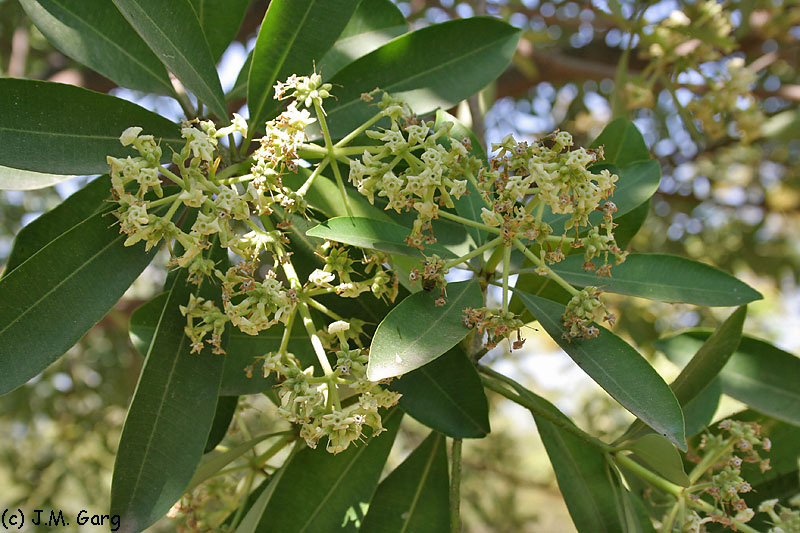 images/species/1008_Alstonia scholaris/1008_1.jpg