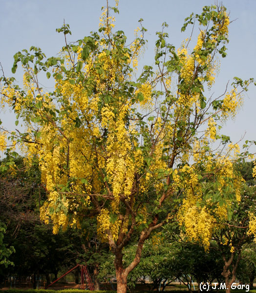 images/species/1020_Cassia fistula/1020_1.jpg