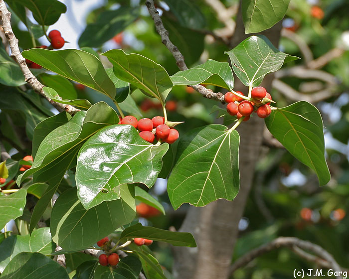 images/species/1035_Ficus bengalensis/1035_1.jpg