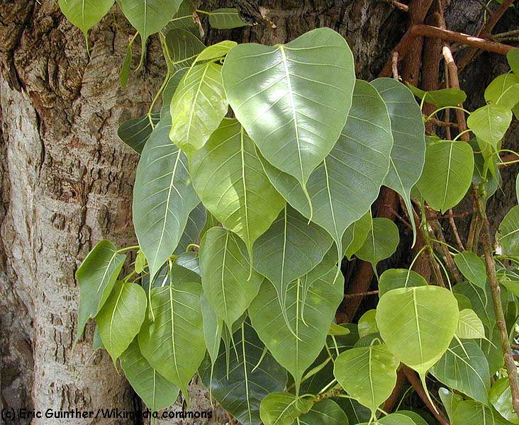 images/species/1037_Ficus religiosa/1037_1.jpg