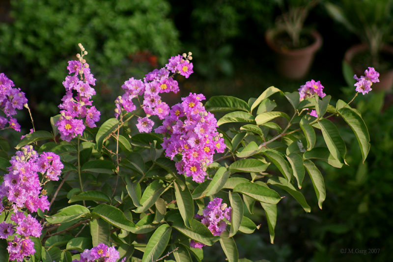 images/species/1045_Lagerstroemia speciosa/1045_1.jpg