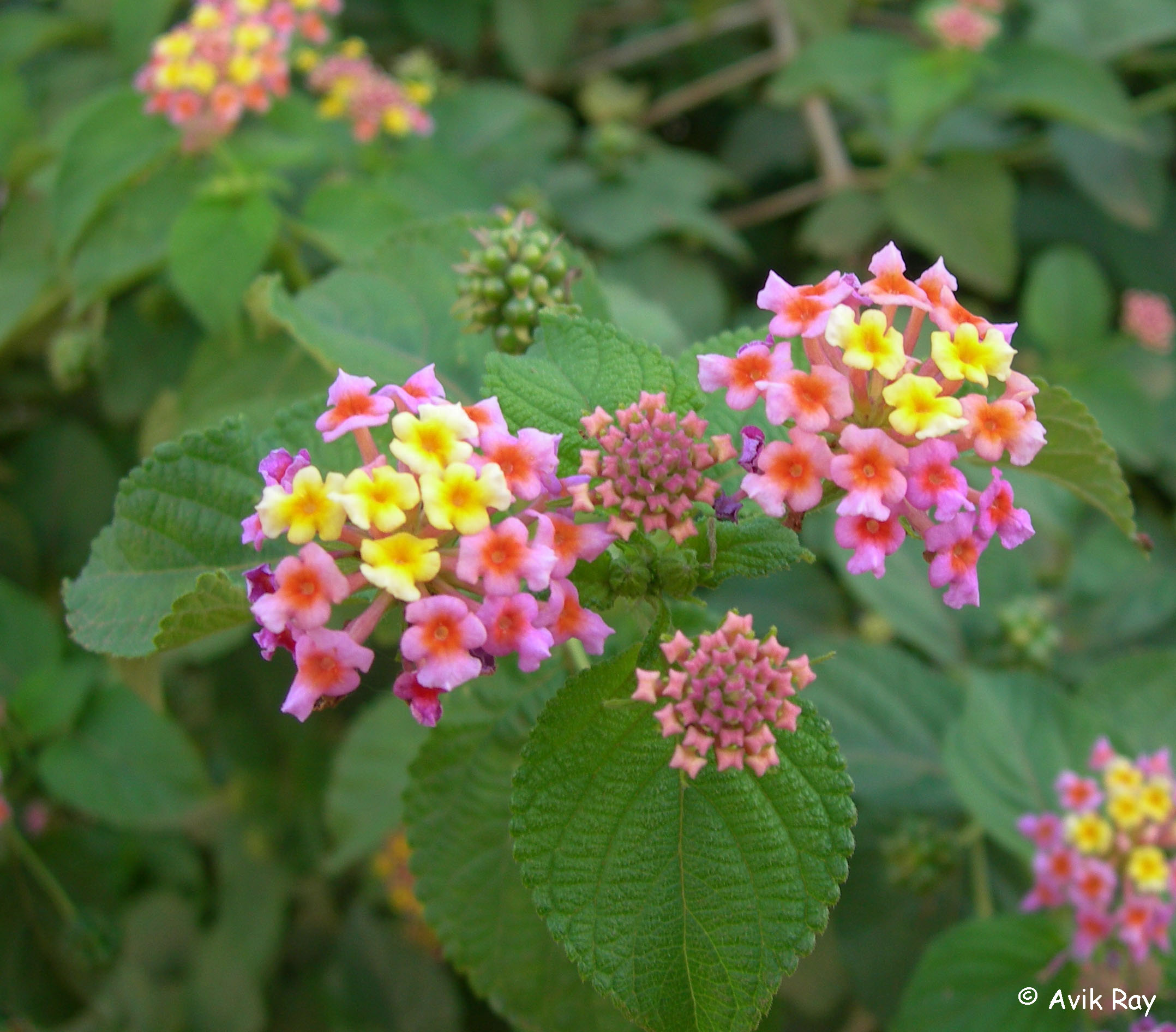 images/species/1046_Lantana camara/1046_1.jpg