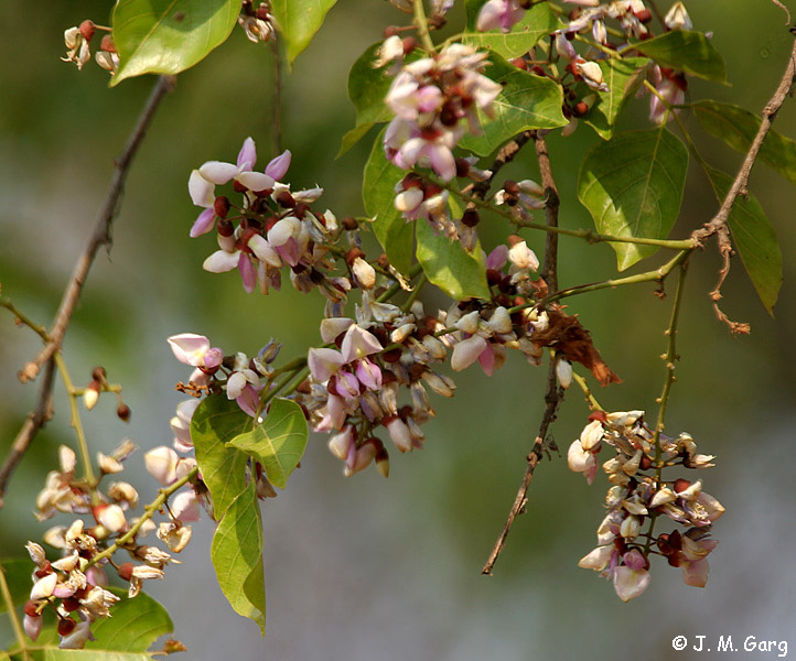 images/species/1066_Pongamia pinnata/1066_1.jpg