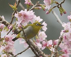 images/species/1096_Prunus cerasoides/1096_1.jpg