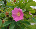 Wild rose or Webbs rose