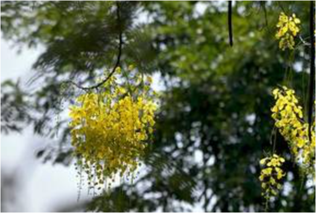 Early konna blooms in Kochi set off alarm bells