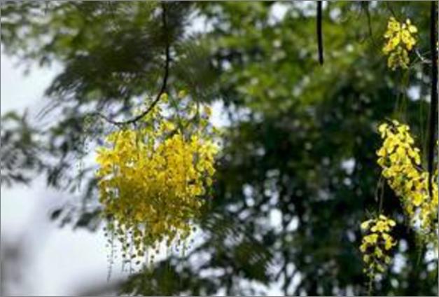 Early konna blooms in Kochi set off alarm bells